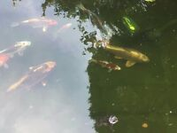 "6 Koi Carp between 6"" and 14"" long and 1 shubunkin for Sale"