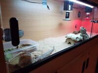 2 lovely bearded dragons, vivarium and all accessories