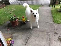 White Female Akita free to good home