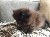 Beautiful Persian chinchilla kittens