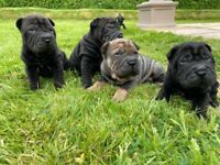 Beautiful SharPei Pups
