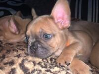 **** French Bulldog Puppies ****