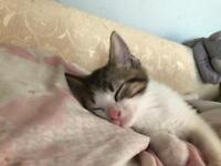 Tabby and white male kitten