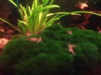 Red Cherry shrimps for sale