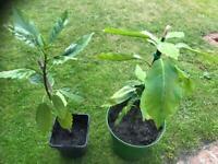 Patio plants evergreen ideal for pots or garden border green even in winter . £8 each