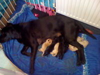 Beautiful litter of Labrador puppies for sale