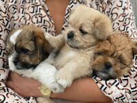 Puppy for Sale - only one boy left - Shih tzu x Lhasa apso