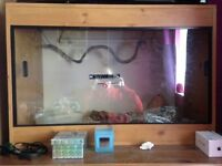 Albino California King snake and full set up for sale only £85 ono