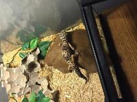 Leopard gecko and ball python