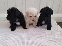 Pedigree toy poodle puppies
