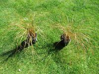 Bronze grasses for pots, garden or pond