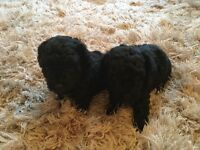 Toy poodle puppies with pedigree papers