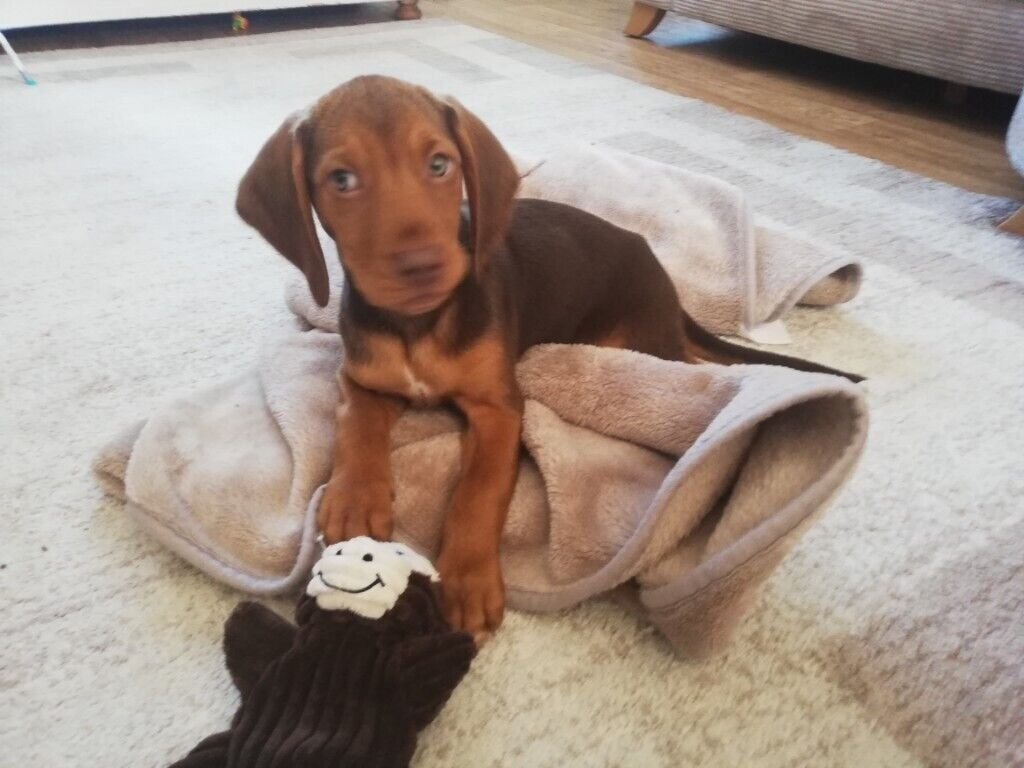 Beagle X Pup Female In Bearsted Kent Gumtree