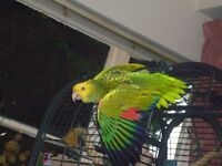 DOUBLE YELLOW HEADED AMAZON PARROT, MALE, 3 YRS OLD, CITIE REG.