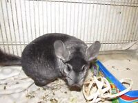 Chinchilla female