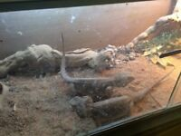 2 bearded dragons and setup for sale