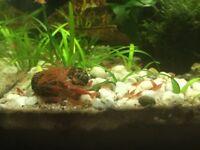 10 Red Cherry Shrimp