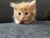 3 BEAUTIFUL MAINE COON X KITTENS *MUST SEE*