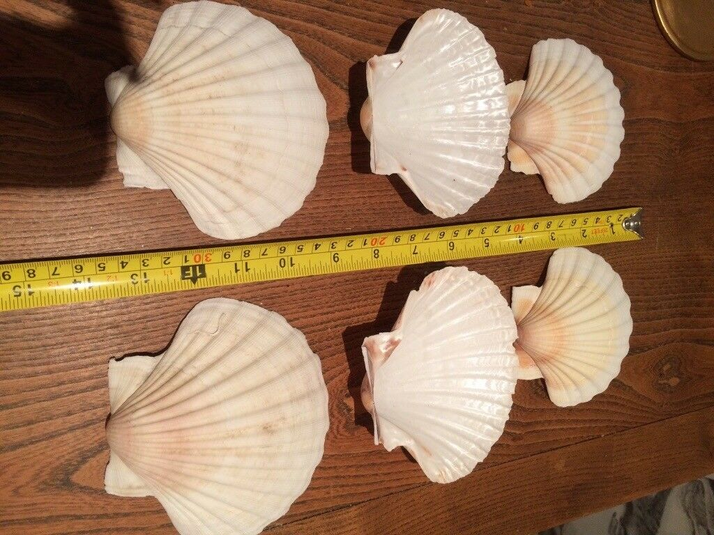 6 clean Scallop Shells (English)