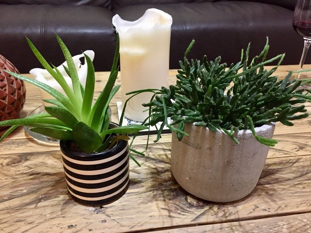 3 house plants for sale! | in London | Gumtree on peppermint tree plant, cycad plant, reed plant, foxfire plant, gazania plant, no light indoor plant, lotus plant, google plant, hickory plant, garland plant, amazon plant, miracle fruit plant, king plant, arcadia plant, violet flower plant, eagle plant, yucca plant, ebay plant, mulberry plant, fig plant,