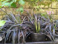 Ophiopogon planiscapus Nigrescens - Black Grass Black Dragon, Plant in 9cm Pot