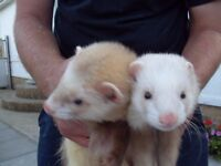 6 ferrets for sale