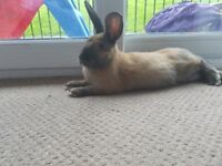 5 month male beautiful rabbit £35 with all extras inc bale of hay, toys, brush, disinfectant