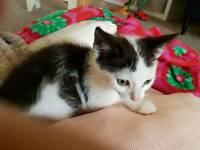 Lovely black and white kitten