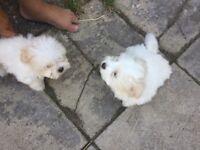 1 male Maltese puppy