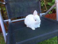Netherland Dwarf rabbit baby 8 weeks old