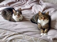 Home needed for male and female tabby cats