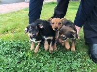 Jack Russell X Cairn terrier Puppies
