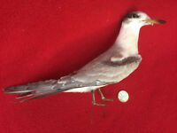 Antique Taxidermy Bird, Tern species, removed from c1930 case
