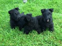 Scottie Pups for Sale