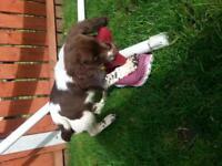 english springer pup 12 weeks old kc reg