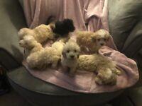 Gorgeous miniature/toy poodle puppies
