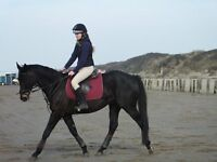 lovely horse with dressage experience