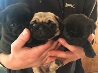 Beautiful chunky pug puppies for sale!