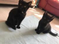 2 Black Kittens for Sale - 1 boy 1 girl
