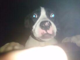 Johnsons american bulldog pup