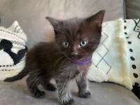 Gorgeous Kittens - 2 x girls and 1 x boy