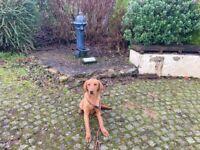 Handsome Red Labrador Male Kc reg Dog