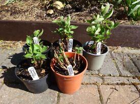 Clematis Integrefolia plants 1 litre pots £3 each