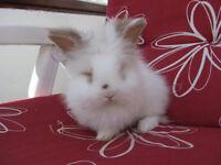 Lionhead baby bunnies pure bred