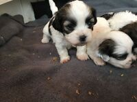 Shitzu/bichion puppies