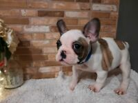 Stunning male french bulldog ready for new home