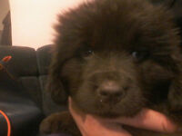 Newfoundland puppies puppy for sale