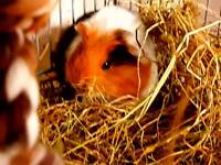 BABY GUINEA PIGS BOYS AND GIRLS