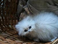 Persian chinchilla kitten full pedigree 5 generations
