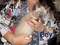 BSH Cross Kitten